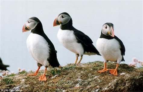 lundy s puffins come back from the edge of extinction