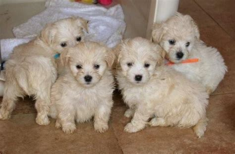 havanese puppies for sale in ms 17 best ideas about havanese puppies for sale on havanese puppies teddy