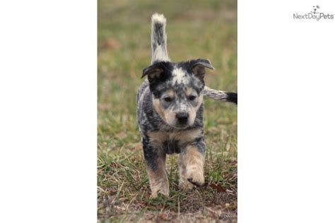 australian cattle puppies california australian cattle puppies rescue and adoption near you autos post