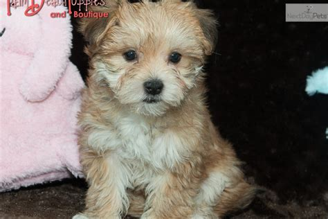 yorkie poo puppies for sale philadelphia pa teacup maltipoo puppies pennsylvania breeds picture
