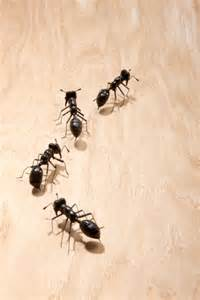 pin small black ants house image search results on