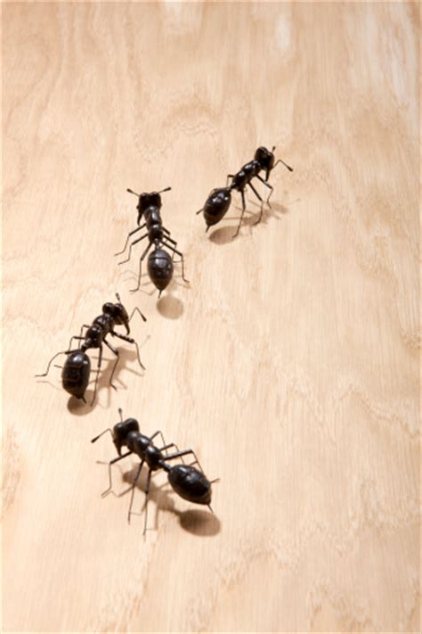 Big Black Ants In Kitchen black ants in your kitchen yes pest pros inc
