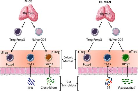 frontiers induction of regulatory t frontiers microbiota specific cd4cd8αα tregs in