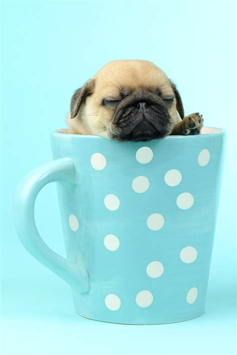 in a pug in a cup photograph by greg cuddiford