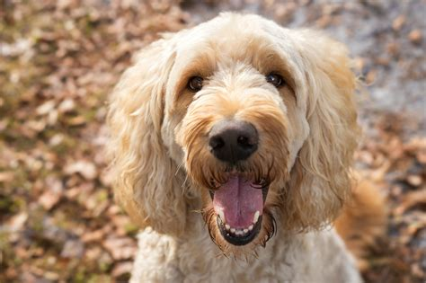 labradoodle dogs keeping your labradoodle happy