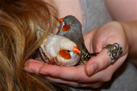 new article incubators hand feeding the white finch
