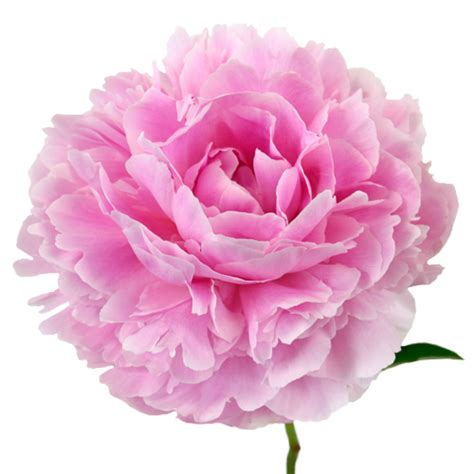 pink peonies pink peony flowers march delivery