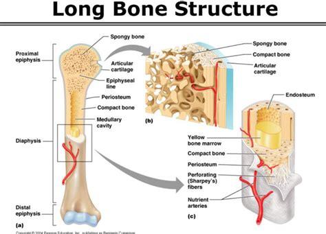 longitudinal section of a long bone anatomy exam 1 at the ohio state university studyblue
