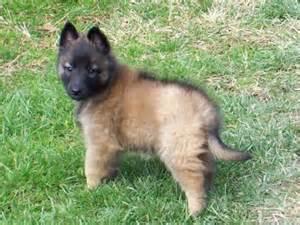 The dog and puppies belgian tervuren