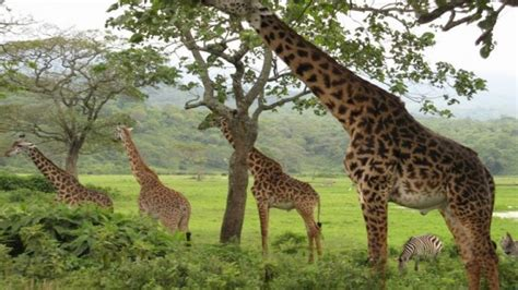 imagenes de jirafas comiendo hojas 191 qu 233 comen las jirafas