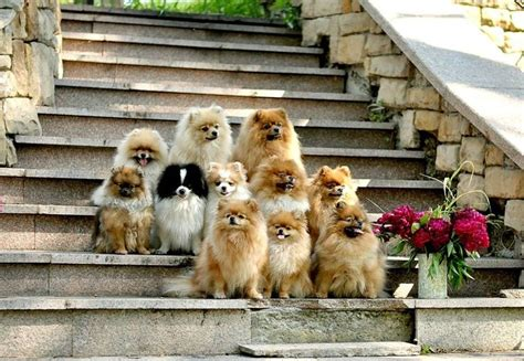 pomeranian family pomeranians family photo