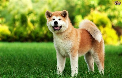 large breed from japan finding out more about the large bold japanese akita breed pets4homes