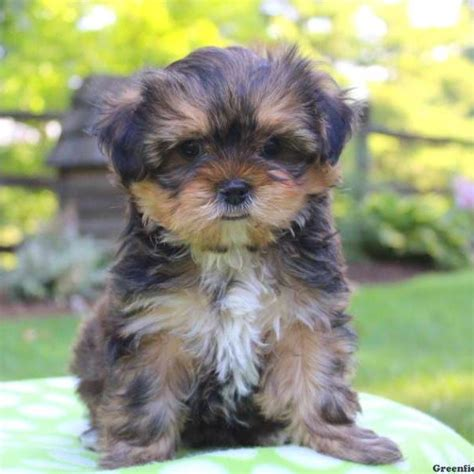 shorkie tzu puppies for sale shorkie puppies for sale in pa
