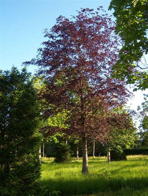 fagus sylvatica fagus sylvatica atropunicea copper beech