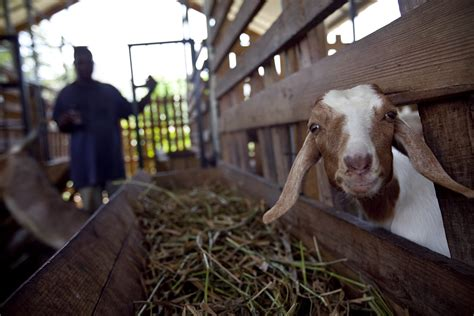 jamaica building  goat farming industry pulitzer center