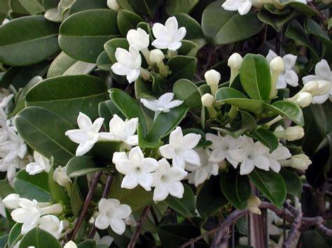 gelsomino fiori secchi gelsomino madagascar stephanotis floribunda
