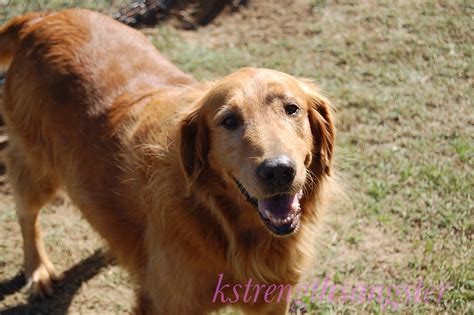 dogs similar to golden retriever golden retriever info photo 4