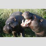 Hippopotamus Face In Water   520 x 320 jpeg 58kB