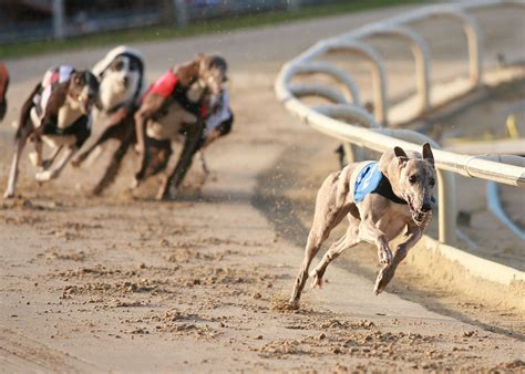 puppy race greyhound racing