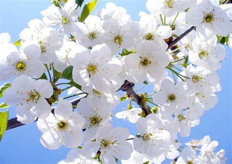 imagenes de flores blancas significado significado de las flores toda la informaci 243 n de flores
