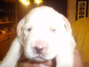 puppies for sale in santa clarita labrador retriever puppies for sale