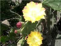 17043 Warm Flower Sml factsheet opuntia monacantha drooping prickly pear