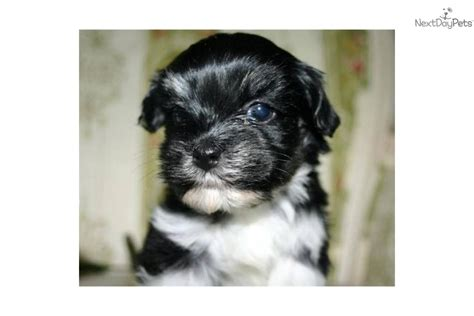 havanese puppies for sale in sacramento terrier tiny puppies for sale dogs puppies for sale