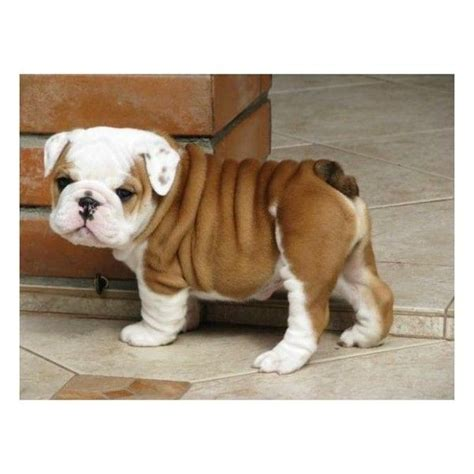 miniature bulldog puppies for sale keep calm bulldog t shirt miniature bulldog bulldog puppies