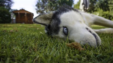 potty a stubborn puppy top 10 most stubborn breeds canna pet 174