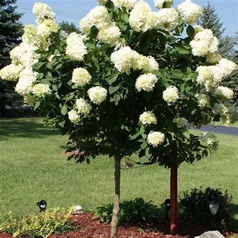 fast growing flowering shrubs uk limelight hydrangea tree seasons trees and beautiful