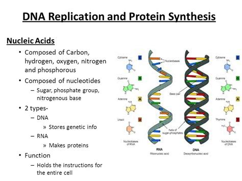 dna replication and protein synthesis venn diagram human molecular biology laboratory manual