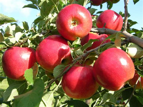 order fruit trees crimsoncrisp apple apple trees stark bro s