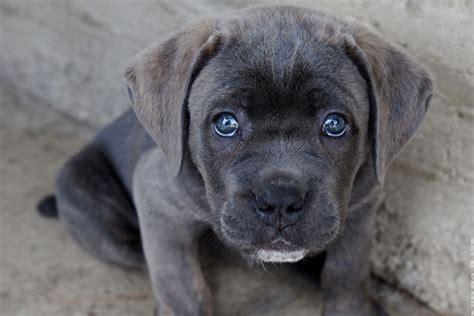 king corso puppies corso temperament names rescue adoption