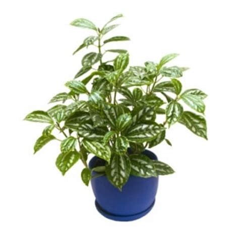 Flowering House Plants Identification aluminum plant care pilea cadierei