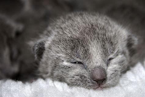 cat price russian blue cat price how much do russian blue kittens