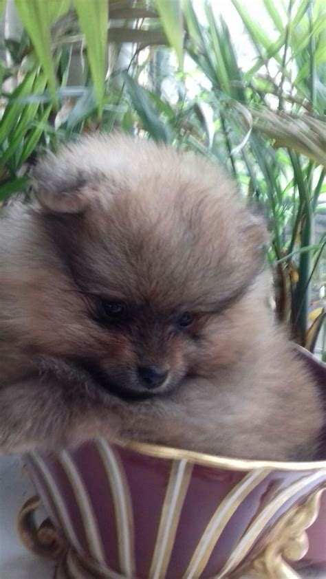 teddy pomeranian breeders uk beautiful teddybear pomeranian puppies for sale swansea swansea pets4homes