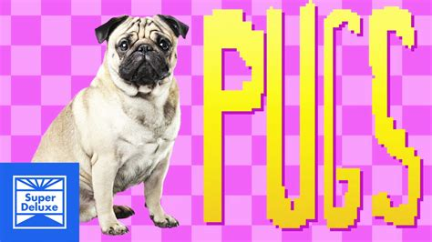 the history of pugs pug song the history of pugs pleated