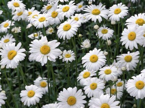 la margherita il fiore per eccellenza fiori da spedire