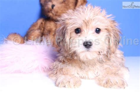 yorkie poo puppies for adoption yorkie poo puppies for adoption breeds picture
