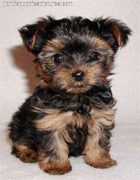 miniature yorkie puppies yorkie hairstyles