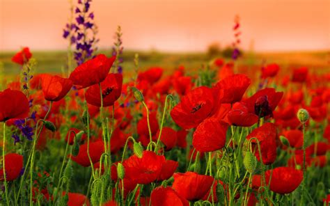 imagenes amapolas rojas red poppy wallpapers wallpaper cave