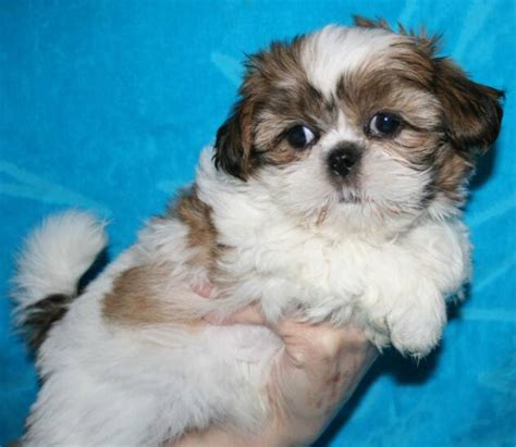 brown and white shih tzu puppy shih tzu puppies white www imgkid the image kid has it