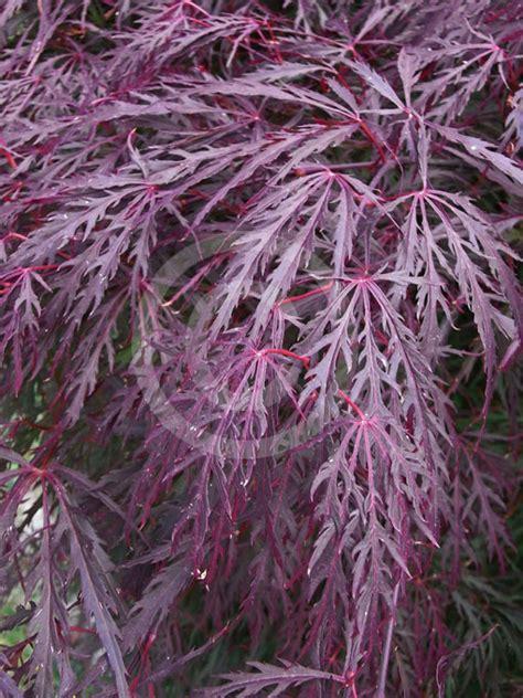 acer palmatum dissectum atropurpureum group purple lace leaf japanese maple information photos