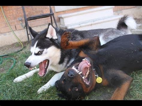 rottweiler husky siberian husky vs rottweiler 2
