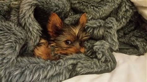 yorkies for sale cape town qtpie kennels terrier puppies for sale