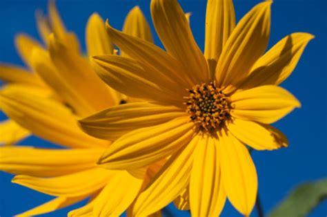 fiore topinambur topinambur il fiore dell autunno 232 giallo e sa di