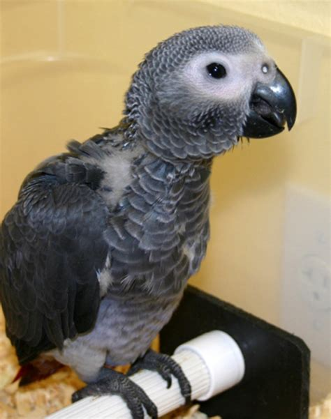 cute fuzzy  smart african grey parrot babies baby