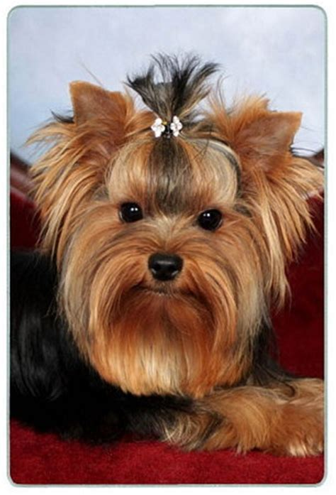 pictures on a tea cup yorkie hair cut 712 best yorkie photos images on pinterest yorkies