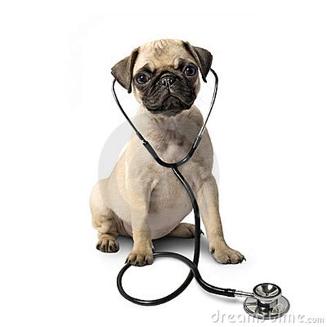 pug diet what is detox on a healthy diet demonstrated by pugs