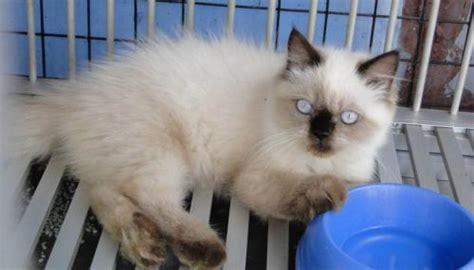 Jual Cat Food Croc Cat Mix Kaskus jual kucing kucing seal point jual kucing